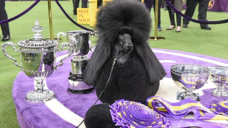 Siba the standard poodle won best in show at the 2020 Westminster Kennel Club Dog Show