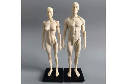 Male and female anatomical models of muscle structures