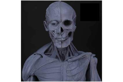 Black and grey human anatomy model half skeleton and half muscle